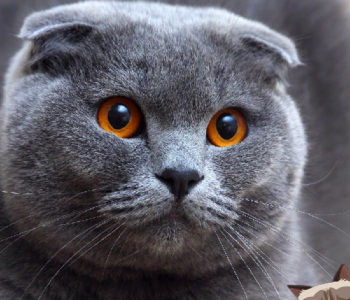 A cat breed named Scottish Fold with fabulous eyes.