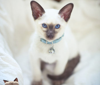 Portrait of siamese chocolate point cat/kitten with blue eyes and blue collar with silver bell, sitting in white cat bed.