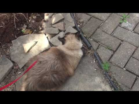 Ragdoll kitty out for a walk