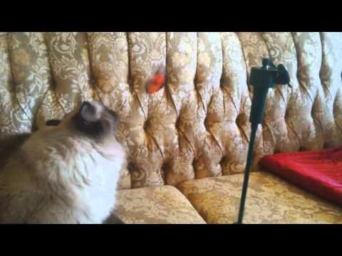 Seal Point Ragdoll playing with butterfly