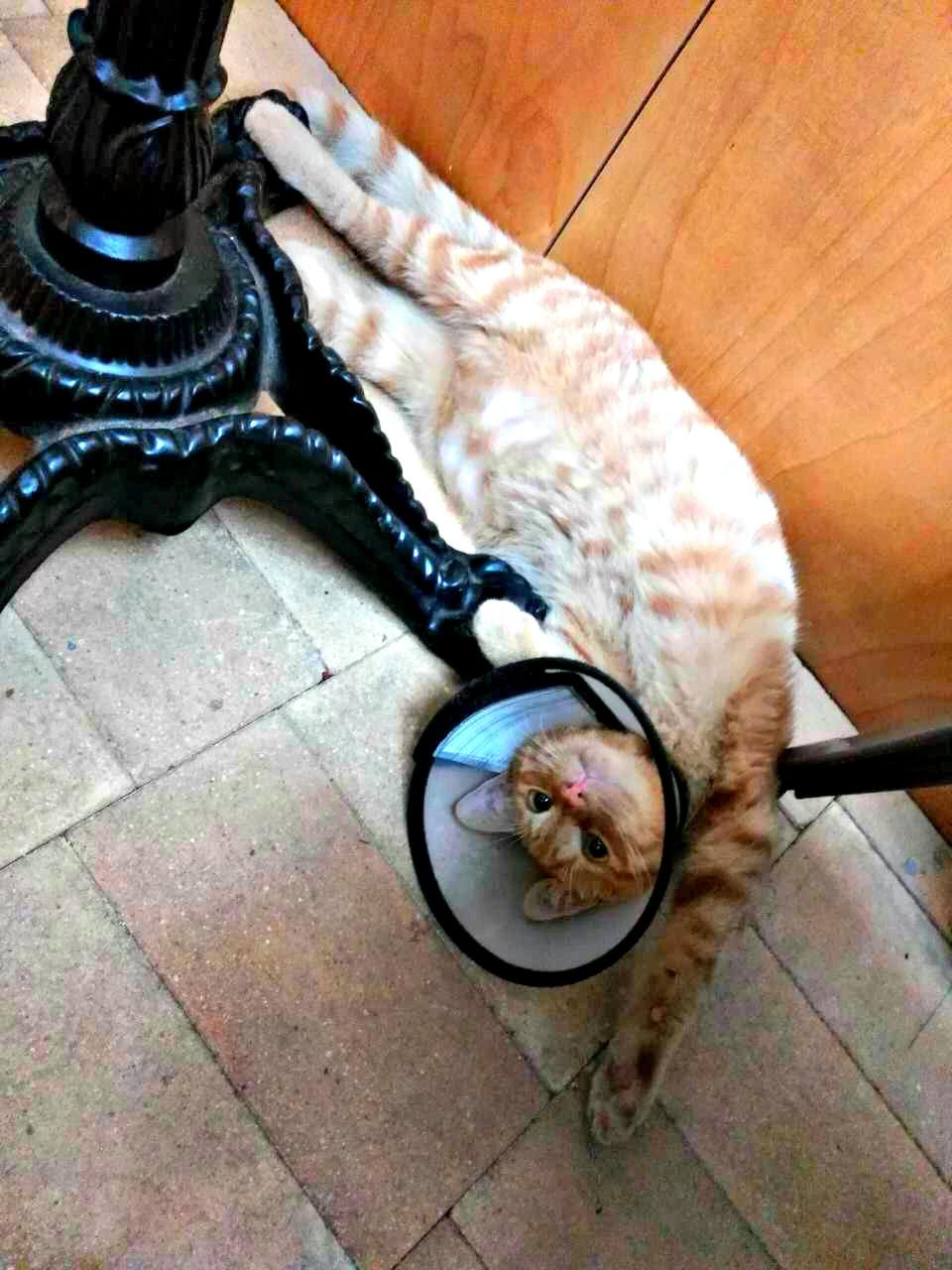 Freshly snipped and gives no f**ks – the gorgeous ginger tom in my local coffee place